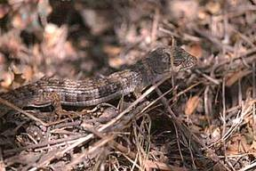 Alligator_lizard_2
